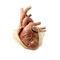 心脏解剖模型 / 用于心脏手术 / 用于胸腔手术 / 儿科4108The Chamberlain Group